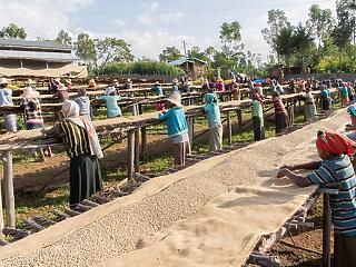 Kipusztulás fenyegeti a vadon termő kávéfajták 60 százalékát