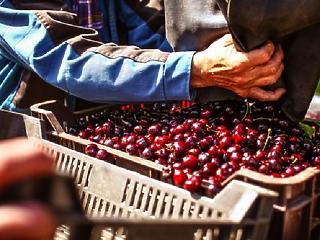 5 tonnával kevesebb cseresznye teremhet idén, jó drága is lesz