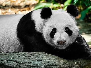 Kína pandákkal tör nagyhatalmi babérokra