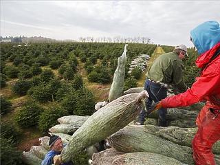 Nem ad több pénzt az EU a hagyományos karácsonyfa-termesztésre