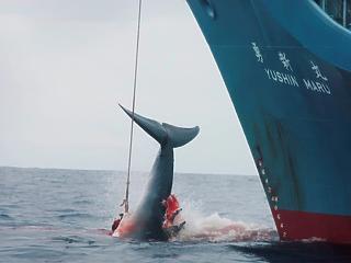 Harminc év után újraindul a kereskedelmi bálnavadászat Japánban