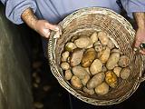 10 tonna krumplit rontott meg a fonálféreg