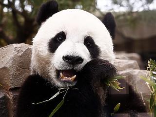 Papír készül a pandakakából Kínában