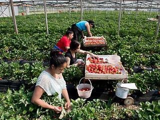 Mentik a mezőgazdaságot: megnyitják a határokat a vendégmunkások előtt