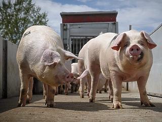 Agrárkamara: nem pestises a magyar disznóhús