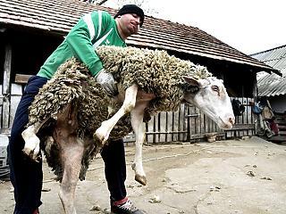 Tovább drágulhat karácsonyig a bárányhús