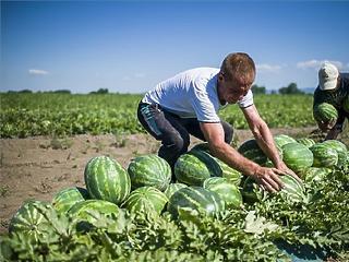 Több ezer tonna magyar dinnyét vásárolnak a környező országokban