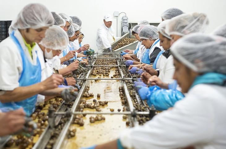 Éticsiga feldolgozó és fagyasztott tésztatermékeket gyártó üzemében Kisvárdán (Fotó:MTI/Balázs Attila)