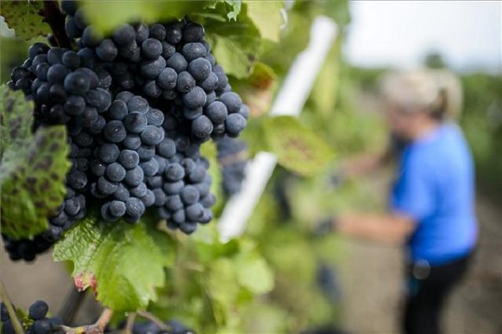 Szépen termelnek majd a most szerzett szőlőbirtokok is (forrás: MTI)