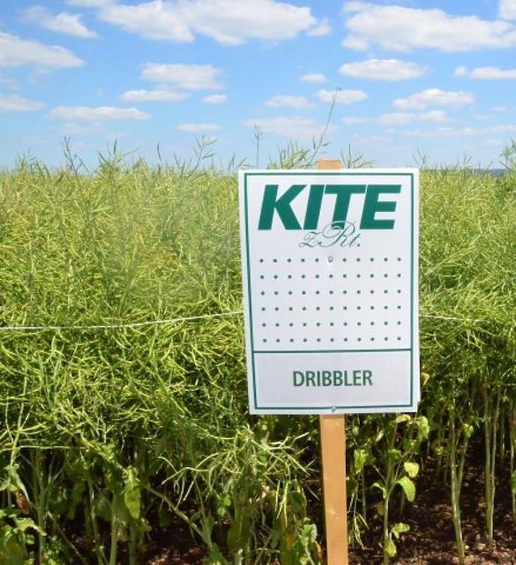 Repcéből állítanak elő nyers növényi olajat és -darát. Fotó: KITE
