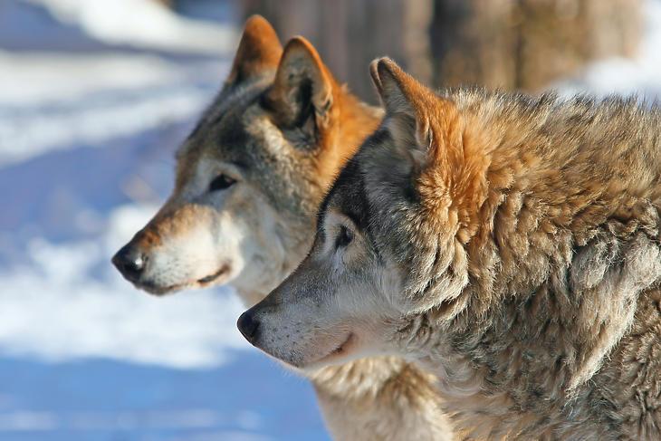 Szürke farkasok (Forrás: Depositphotos)