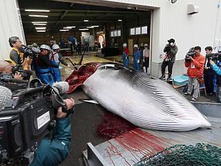 54 ezer forintért vitték a bálnahús kilóját Japánban