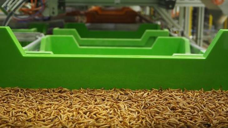 Lisztkukacok az Ynsect gyárában.