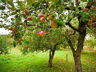 Rendkívül gyenge lehet az idei almatermés