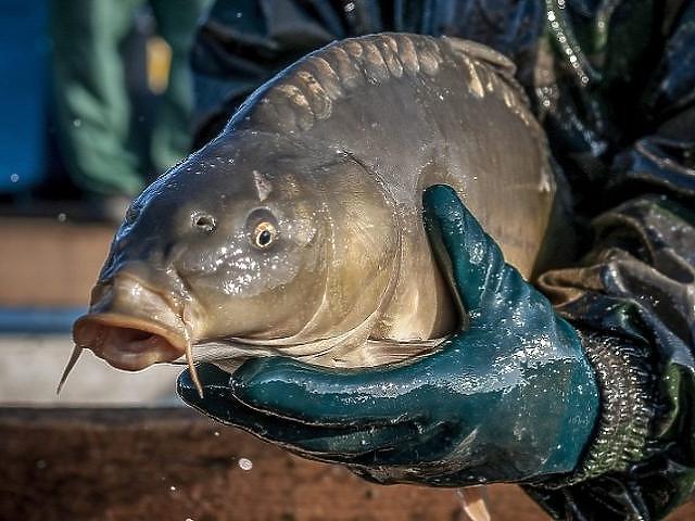 A vártnál kevésbé csökkent a hal fogyasztói átlagára
