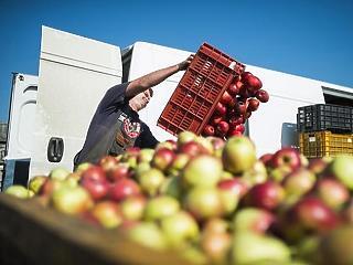 41 százalékkal esett az alma termelői ára októberben