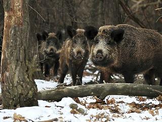 A sertéspestis miatt adómentes lehet a vadászaton elejtett vad húsa