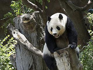 Óriáspandákkal tör világuralomra Kína