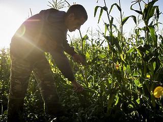 A felmelegedés miatt stagnálnak a gabona termésátlagai