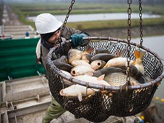 Valójában nem csökkent nagyot a hal ára, hiába az áfacsökkentés