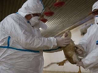 A madárinfluenza miatt esett vissza a magyar húsipar