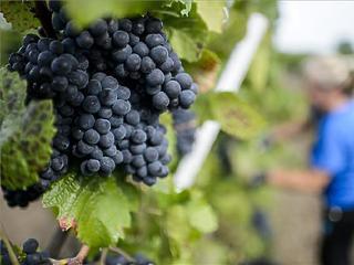 Nyomás alá került a szőlő felvásárlási ára