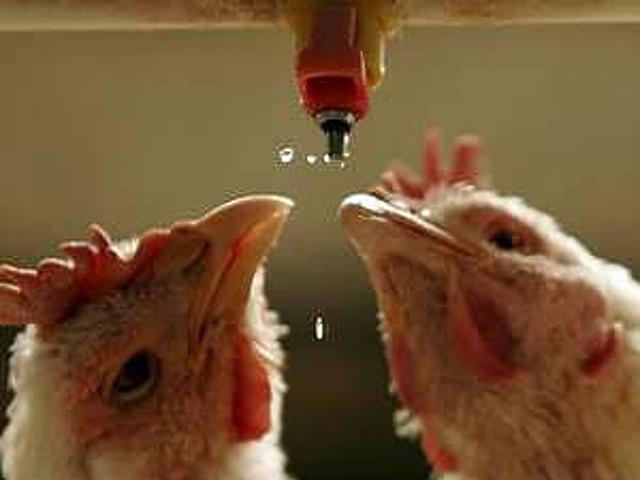 Csirkék a csapon