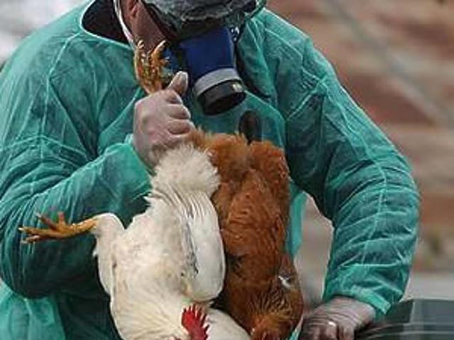 Csirkék likvidálás előtt