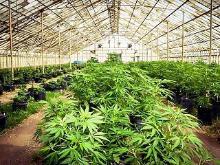 A legnagyobb sörgyárak már a marihuánában látják a jövőt