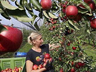 Elverte a jég az almát - negyedével kevesebb gyümölcs termett