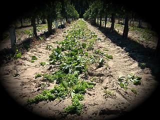 Ilyen még soha nem volt: zöldszüretet javasolnak a szőlősgazdák