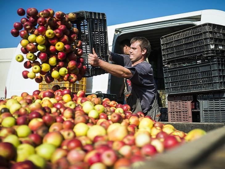 13 forintért leszedni sem érdemes az almát (Forrás: MTI - Balázs Attila)